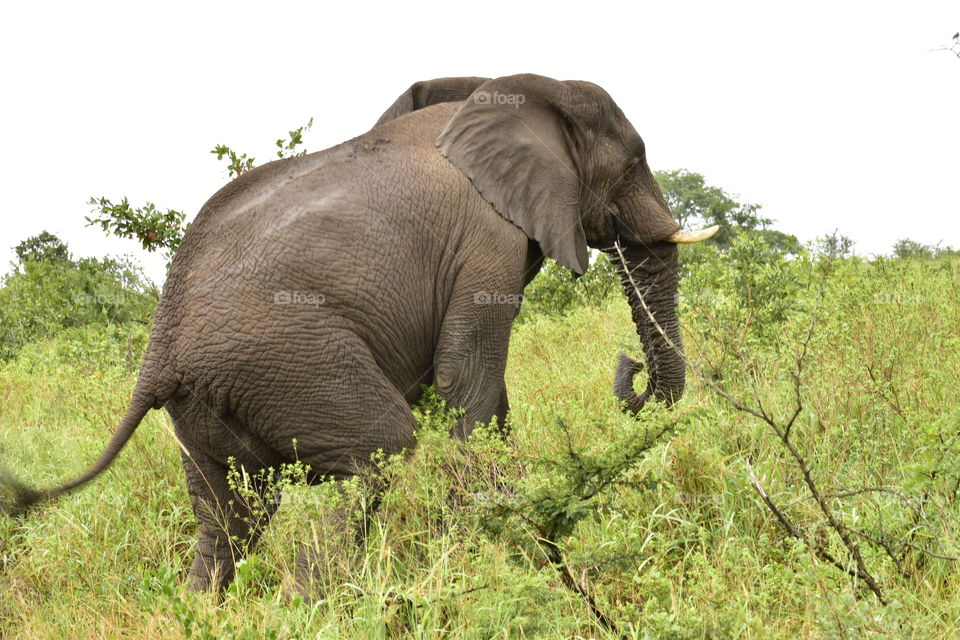 An African Elephant. It is the only animal I know that has four knees