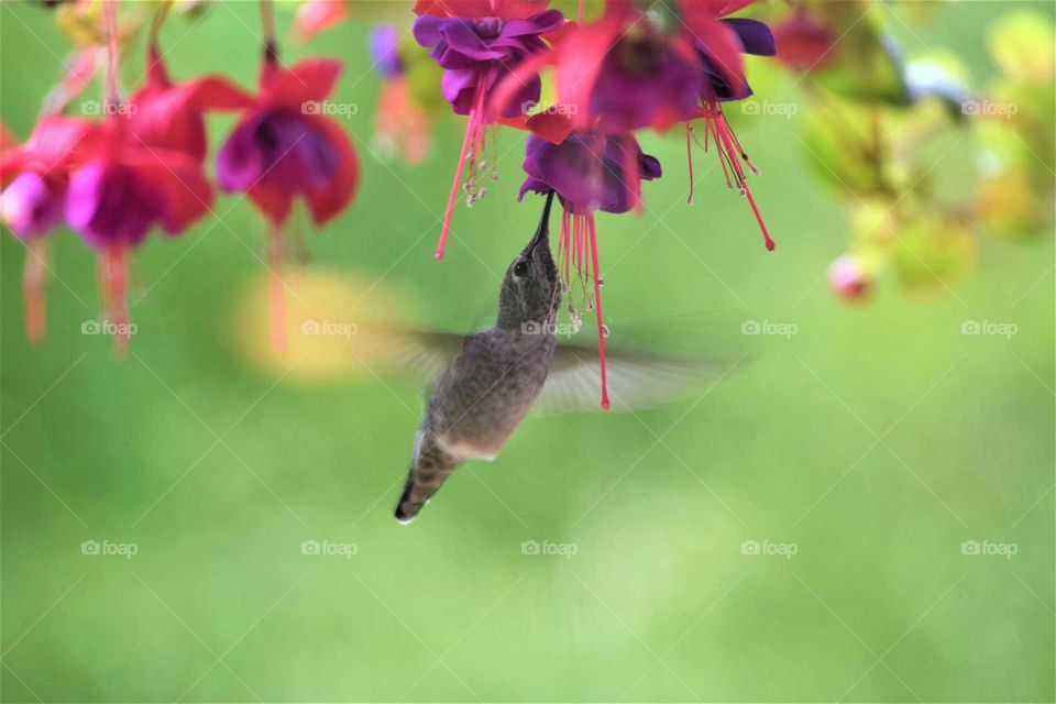 beautiful hummingbirds in Flight feeding on a pink and purple fuchsia September 22nd 2018