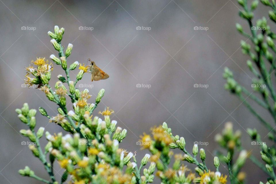 moth or butterfly collecting pollen from wild flowers