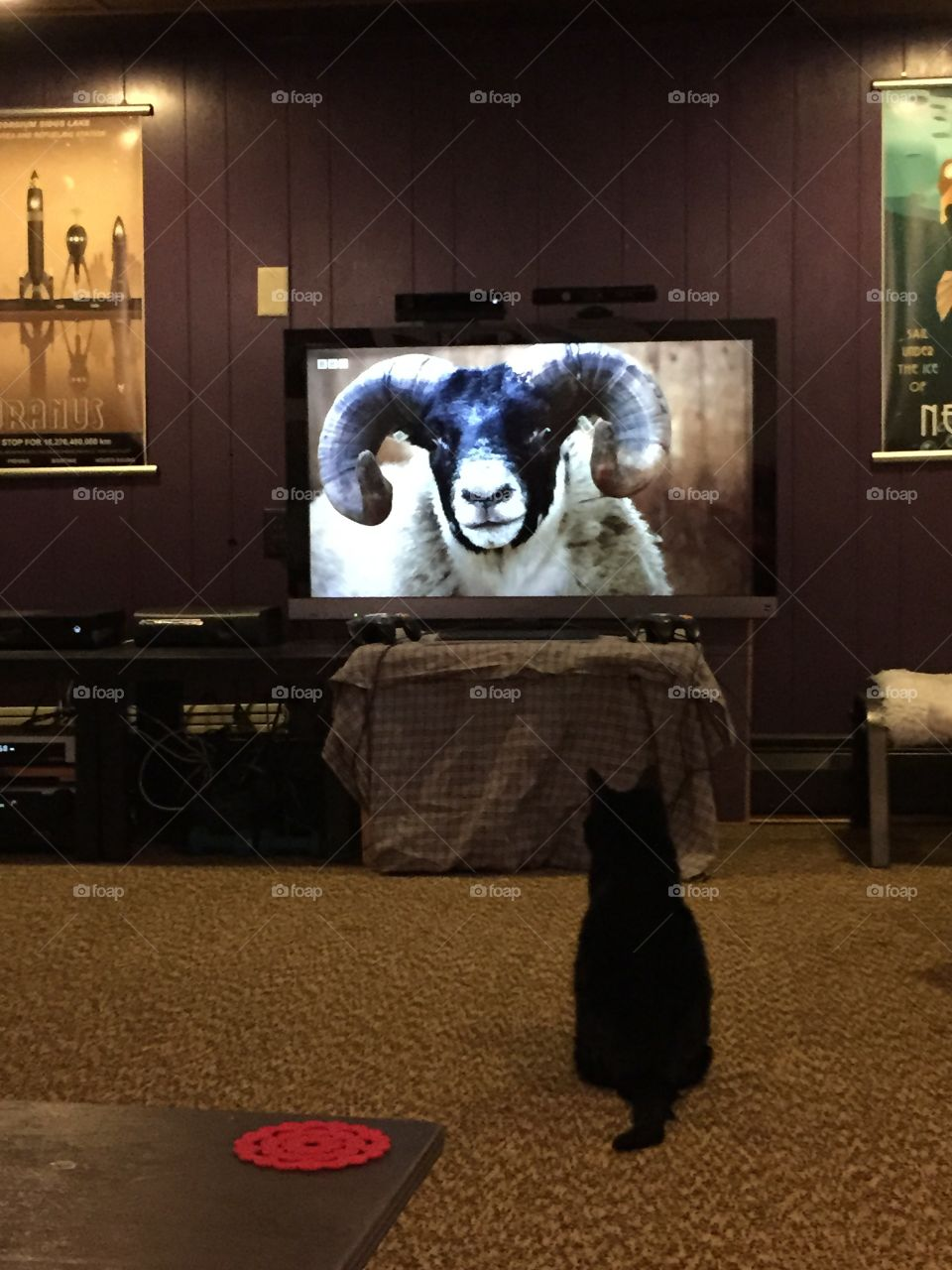 Sheepishly entranced. No idea why my cat was suddenly interested in a close up of s sheep...eyes bigger than stomach....!?