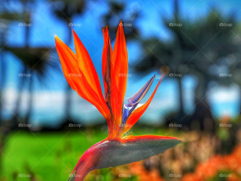 Stunning and Striking Bird of Paradise Botanical! Perfect Tropical Art and Marketing including Canvas, Metal and Wall Art!