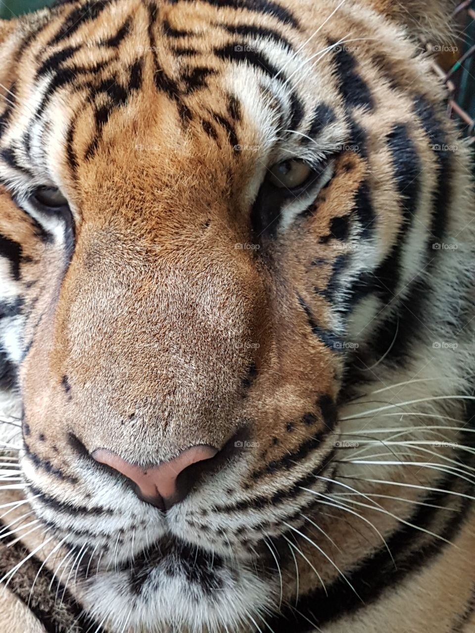 Bangal Tigers are such a beautiful and Majestic creature. Never before have i offered my self up for lunch lol to get this close for a photo.