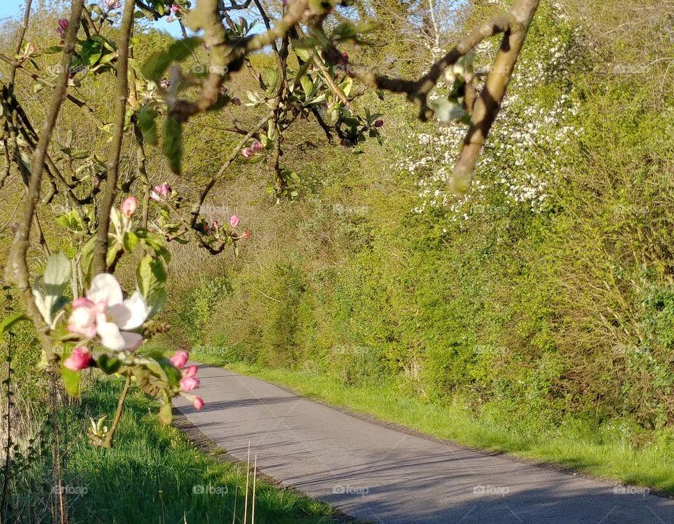 Apfel Apfelblüte Weg Straße grün natur