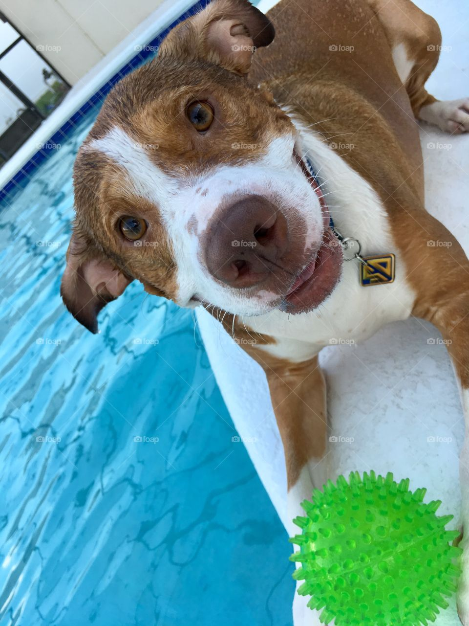 Very happy rescue dog playing ball in the pool in Florida