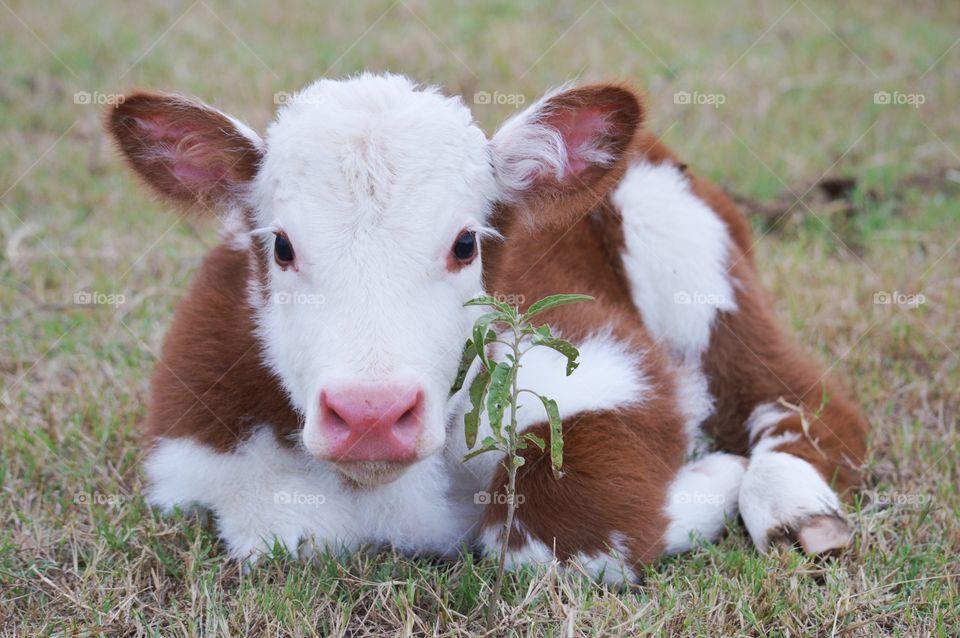 Newborn calf lying down on the grassy land