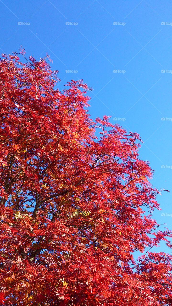 Red tree in fall season. Red tree in fall season