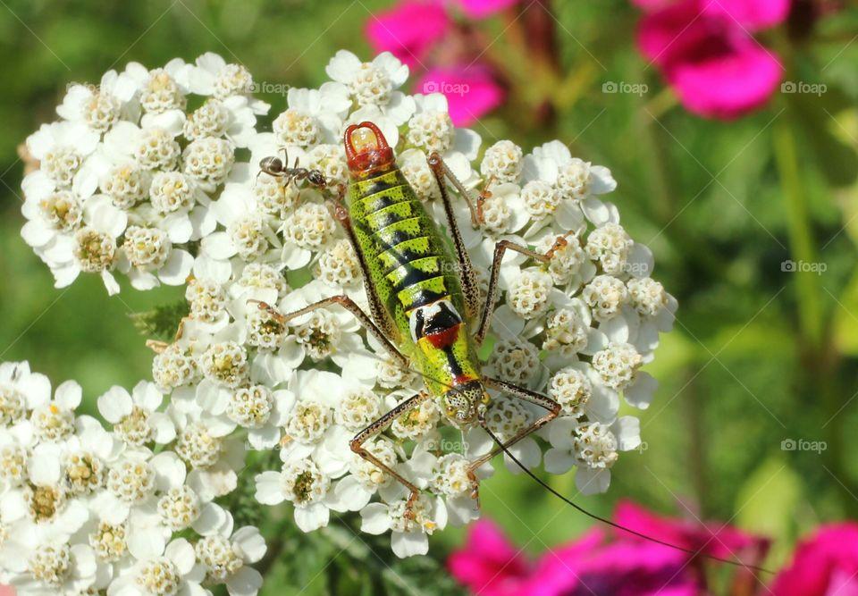A grasshopper on a flower head