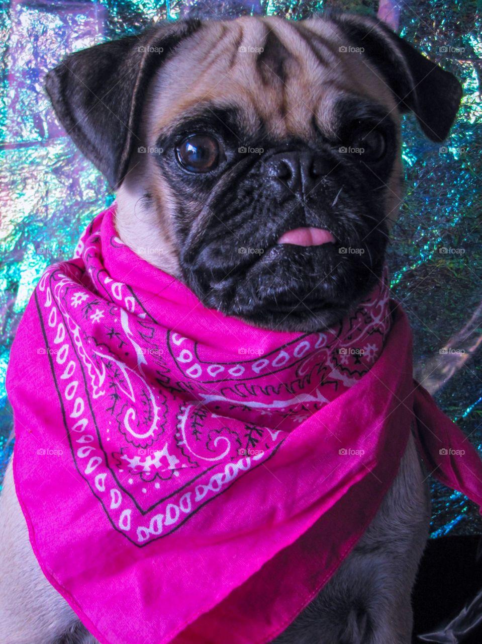 Pug with bandana
