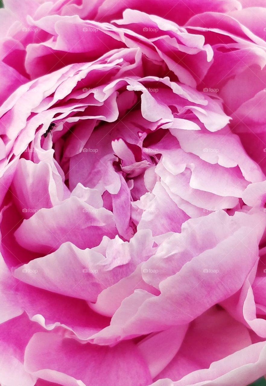 peony rose