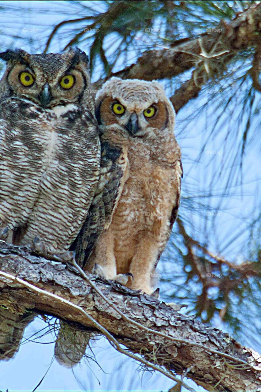 Great Horned Owl and Owlet with wide beautiful eyes.