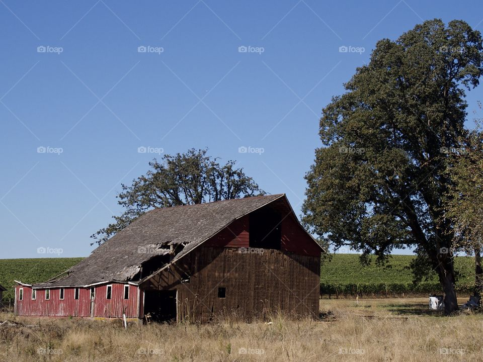 A broken down old red barn next to a field with shade trees in the rural farmland of Western Oregon sunny fall day.