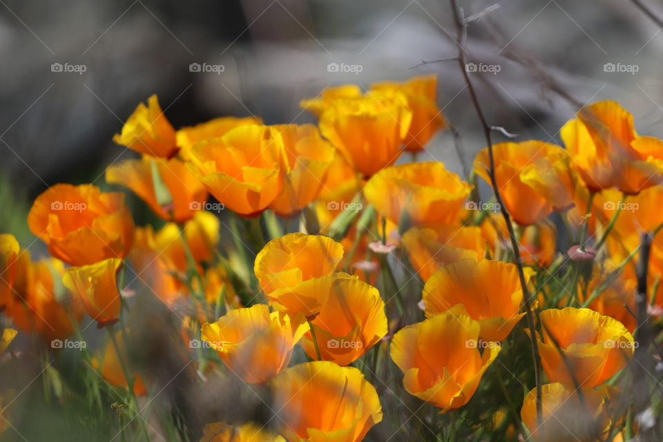 Orange Indian poppy flowers popping up by the shore