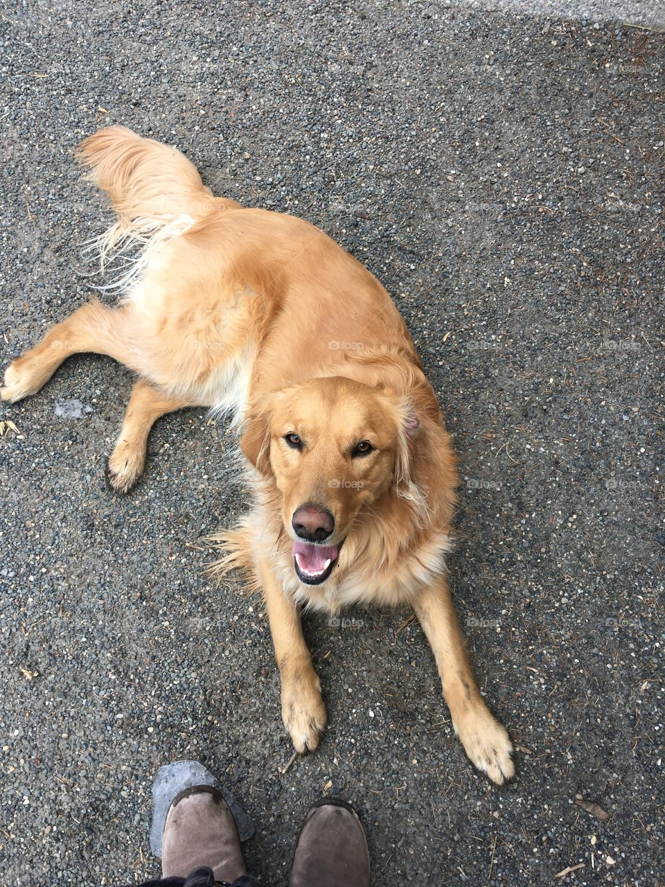 A golden retriever dog laying on the gravel looking up and panting