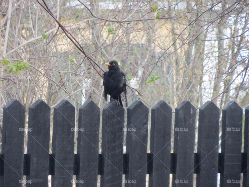 A blackbird on a fence