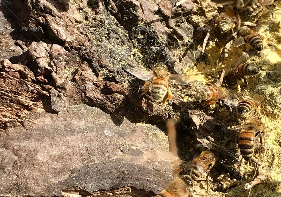 Honeybees Collecting Pollen On A Warm Winter Day