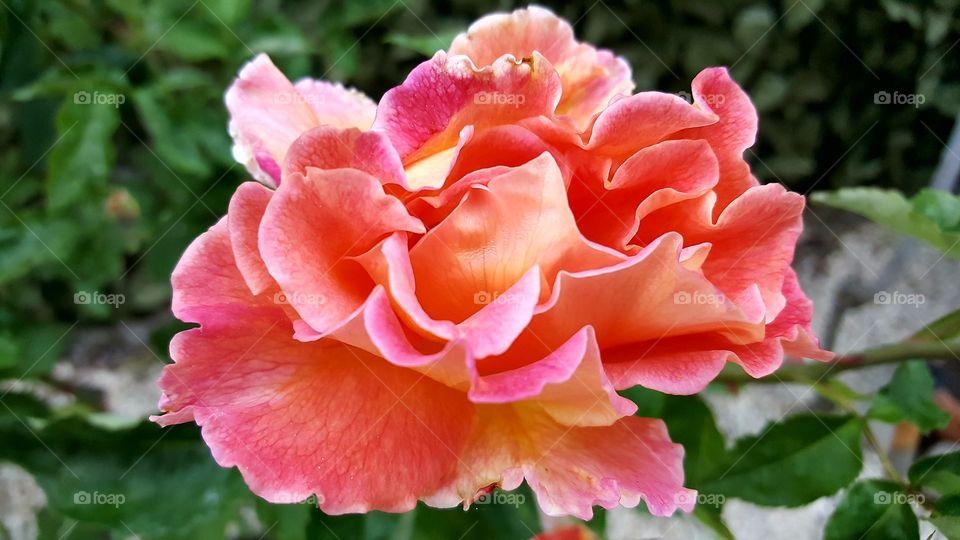 rosa flowers