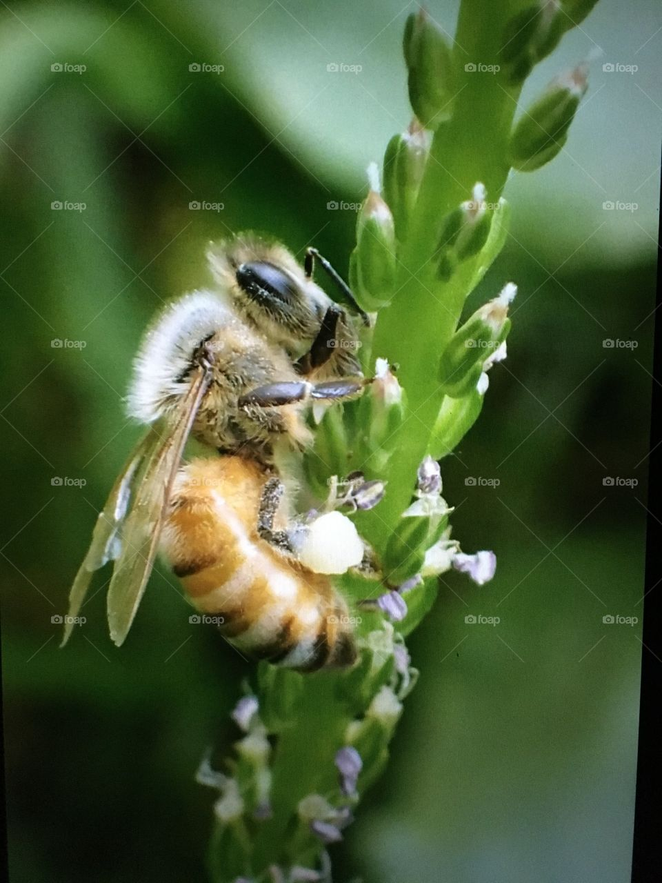 Honey bee on Greater Plantain