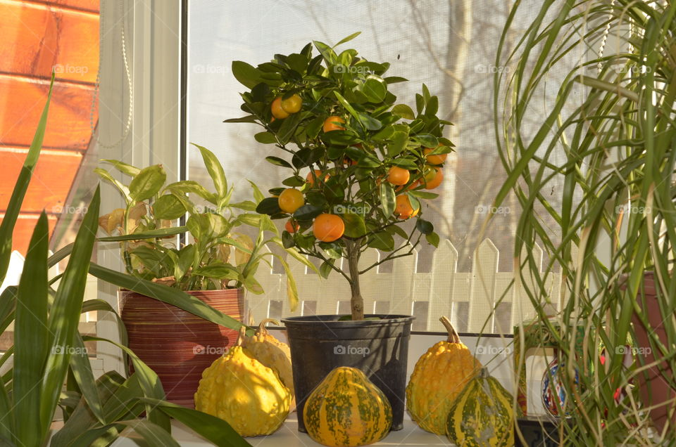 mandarin tree on the windowsill