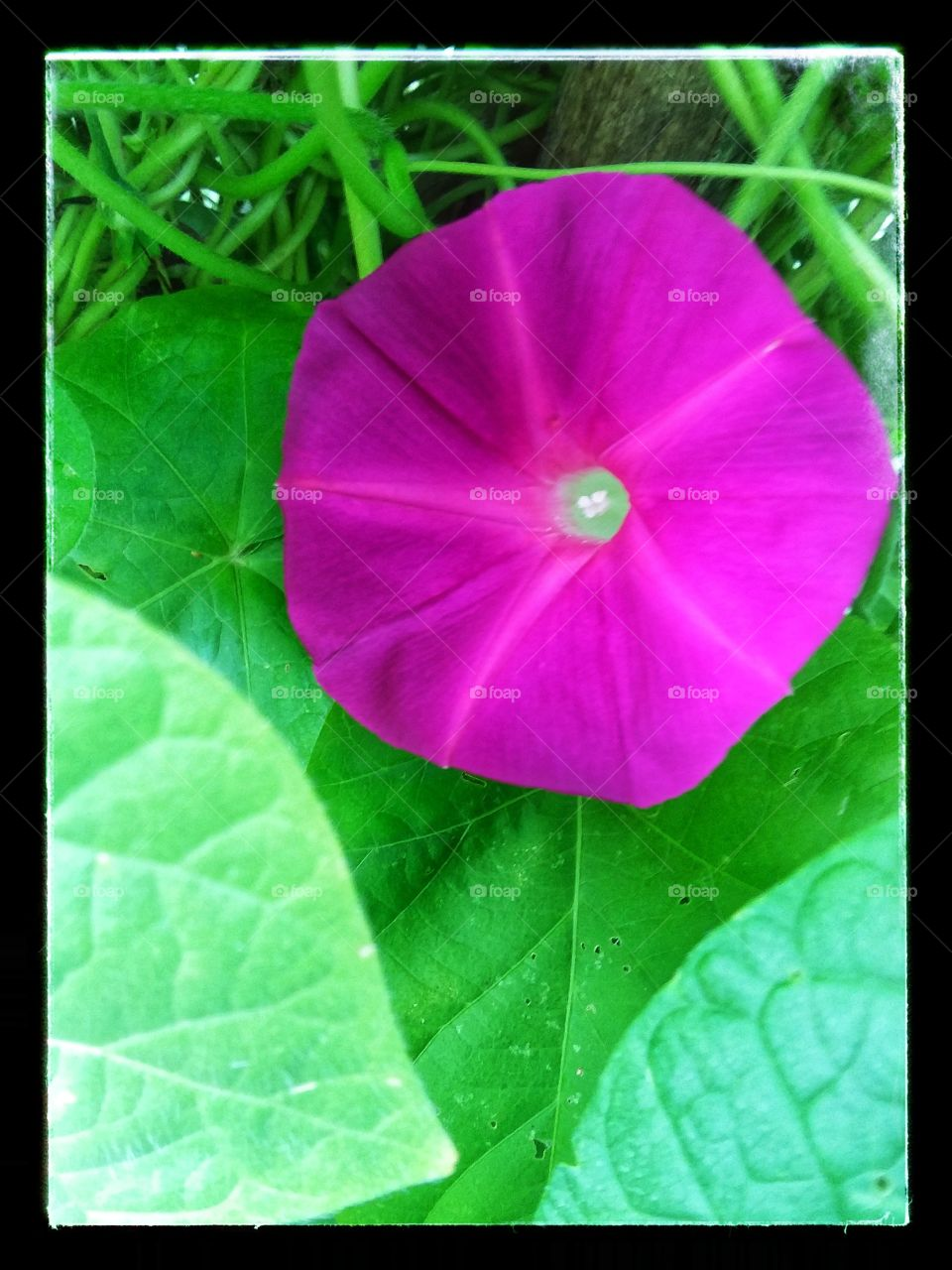 Intensely colored 'Scarlett O'Hara' Morning Glory