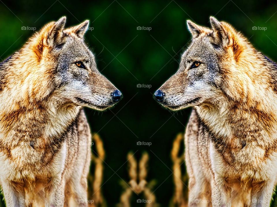 Wolf double take.