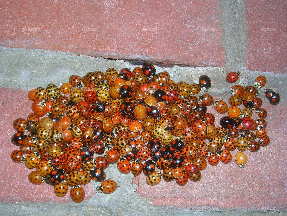 Whole lotta luck. 100 ladybirds aggregated on my wall