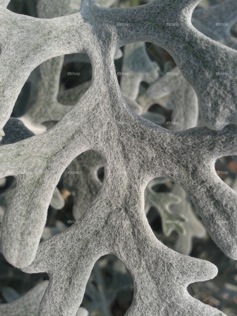 Dusty Miller foliage. Like velvet .