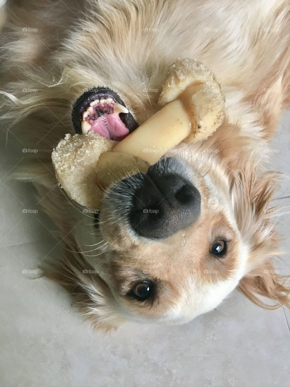 Chew dog toy and playful golden retriever