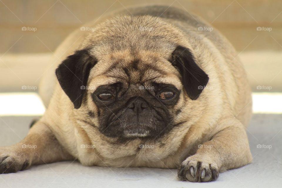 Pug Dog Gwen