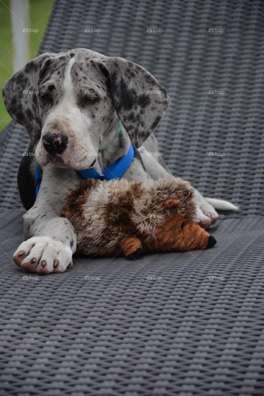 Great dane dog resting on sofa