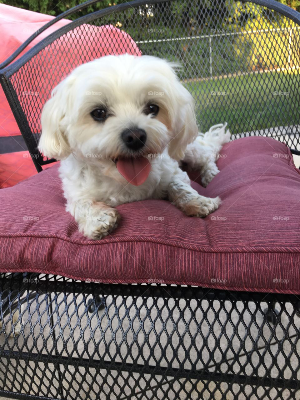 Yo-yo the white Maltese dog smiling on patio chair