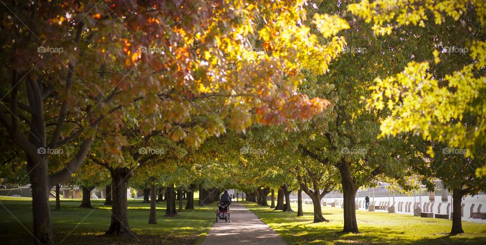 pathway with parallel trees at the park. Fall. Autumn foliage