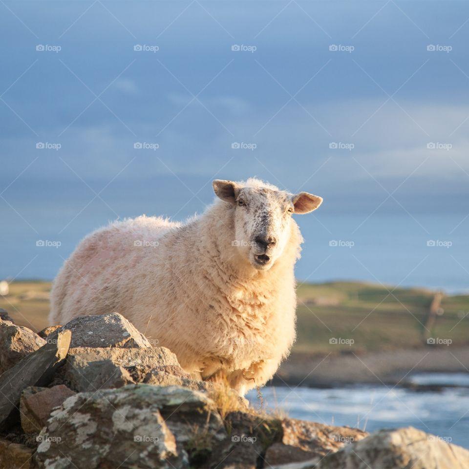 Sheep. Sheep
