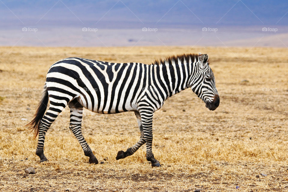 Side view of zebra