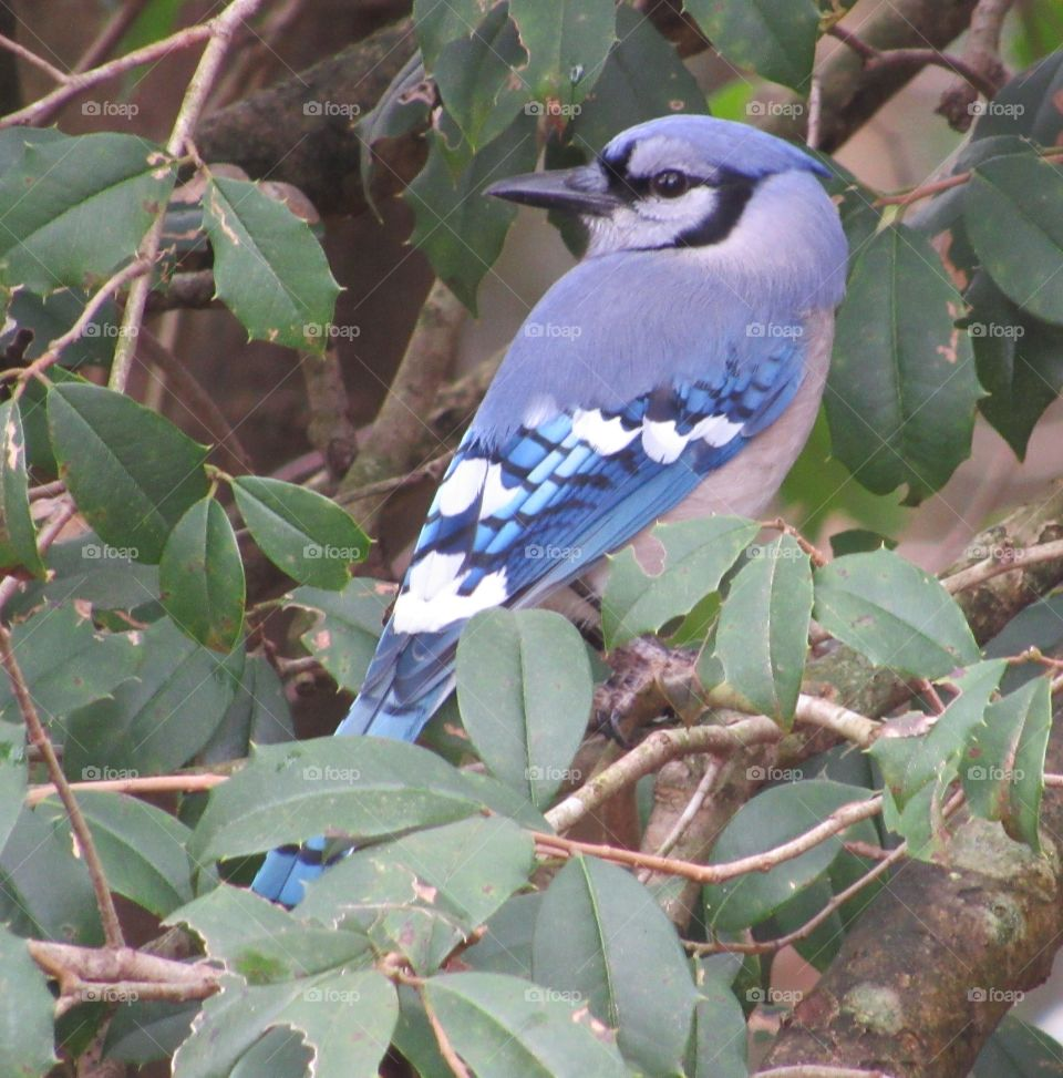Blue Jay sitting in a Holly tree in winter