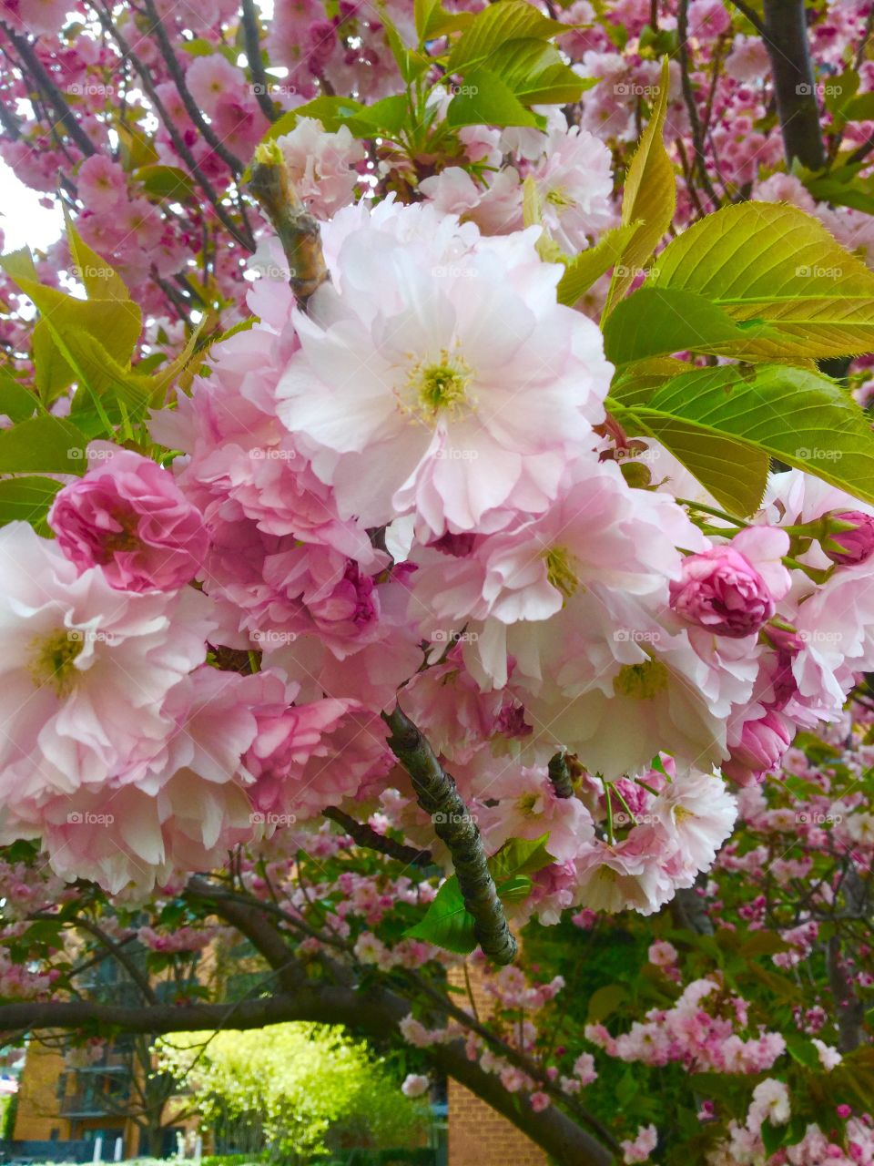 Blooming Cherry blossoms in Virginia