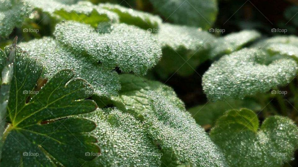 Frost melting on the bright green sunlit leaves