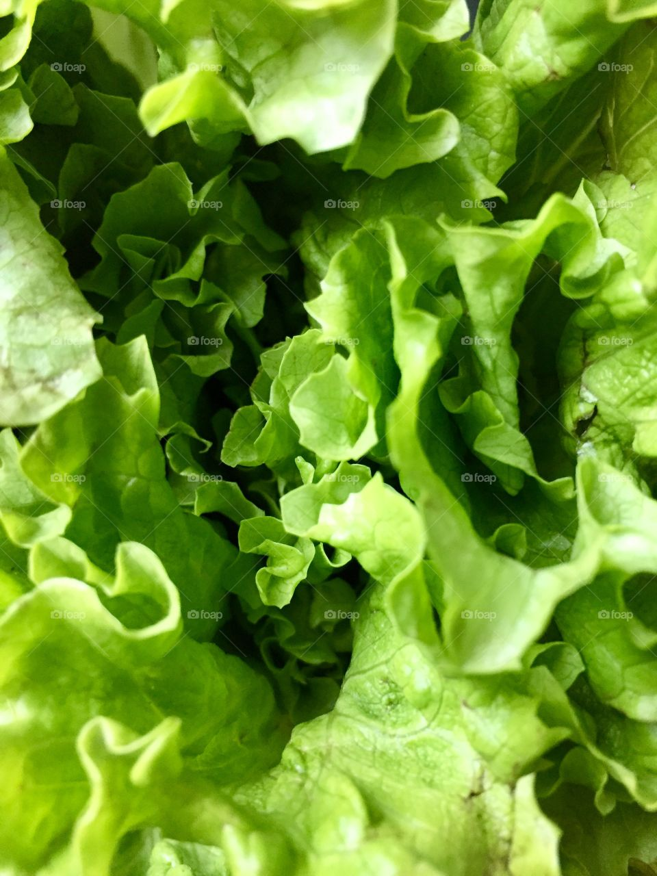 Green Color Story - top of Romaine lettuce leaves