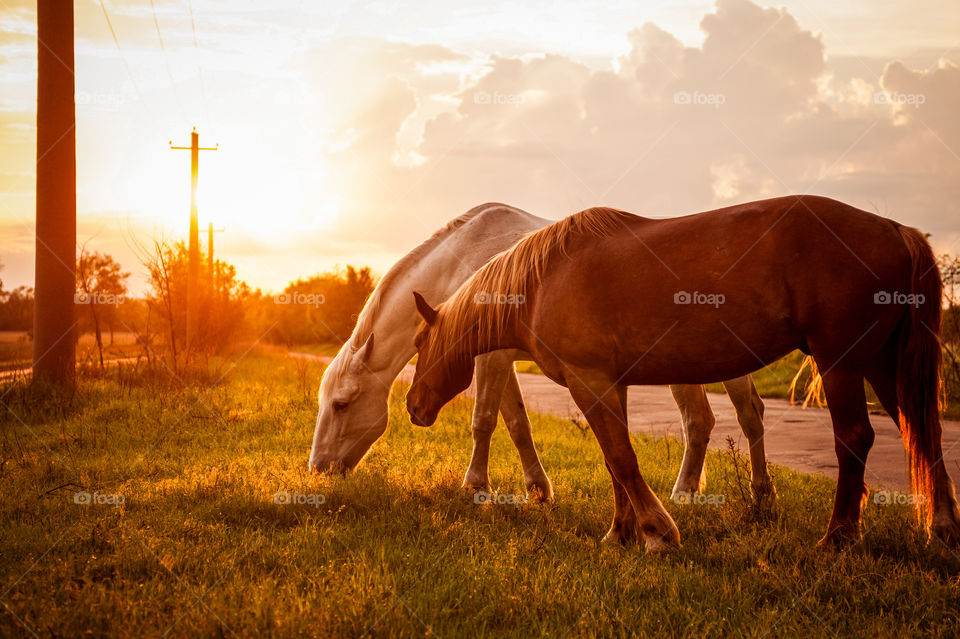 the beautiful sunset with couple horses