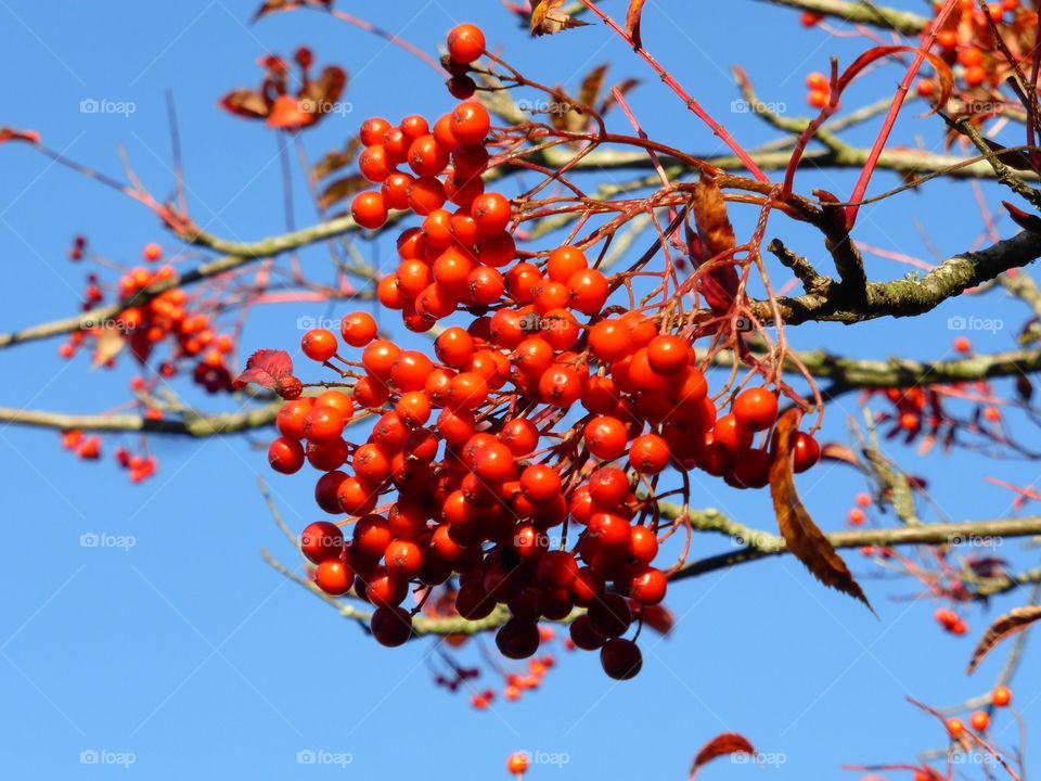 Close-up of rowan berry