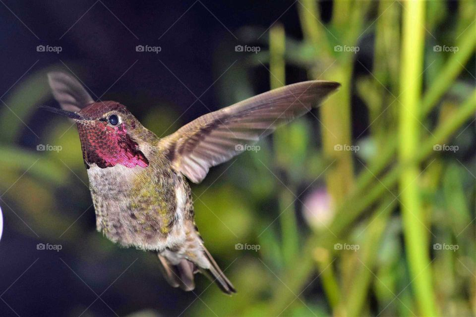 close up hummingbird in Flight May 25  2018