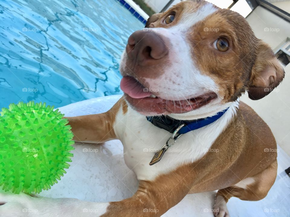 A very happy wet rescue dog and his ball poolside