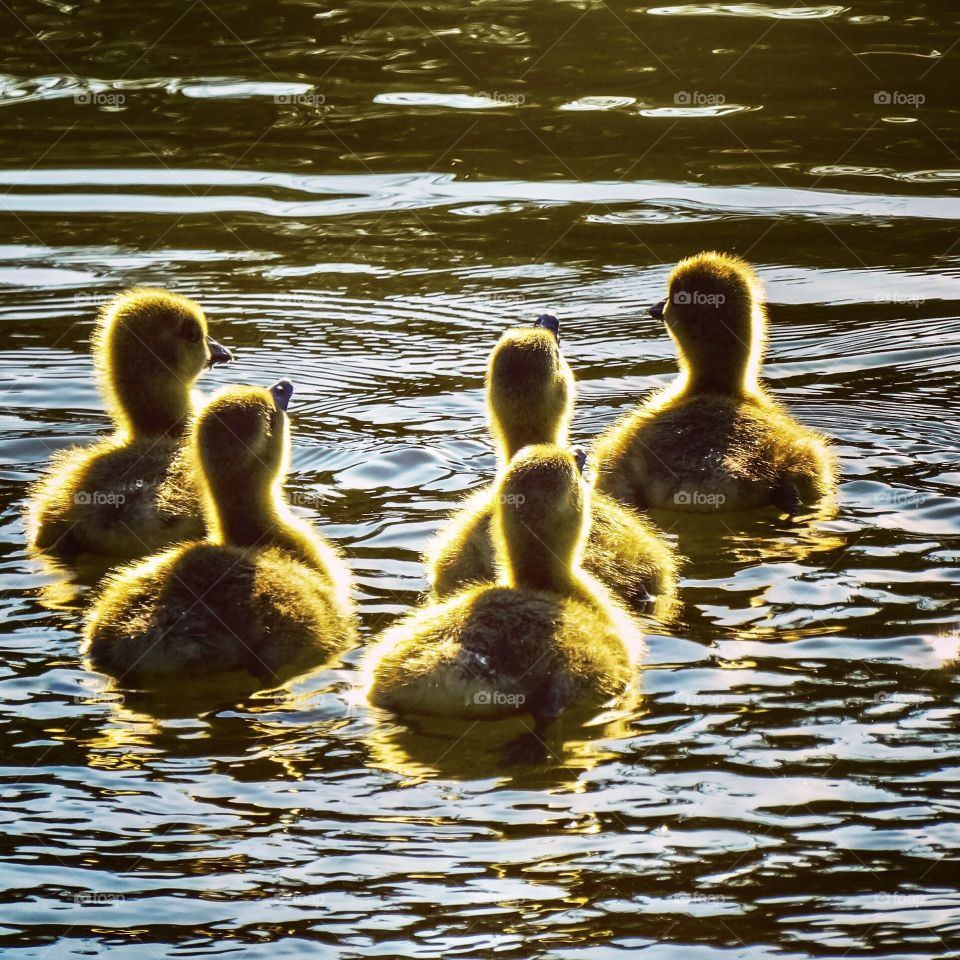 Cute Newborn goslings in the sun shining light floating on a lake on a beautiful spring day