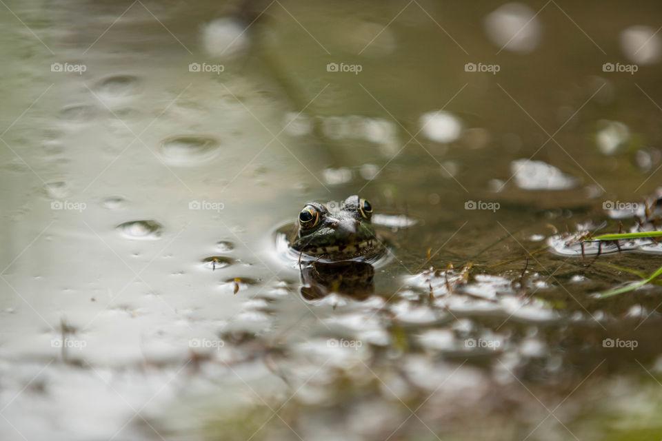 Frog, Water, Amphibian, Reflection, Wet