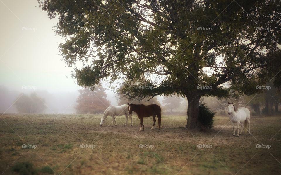 Horses on a Foggy Morning