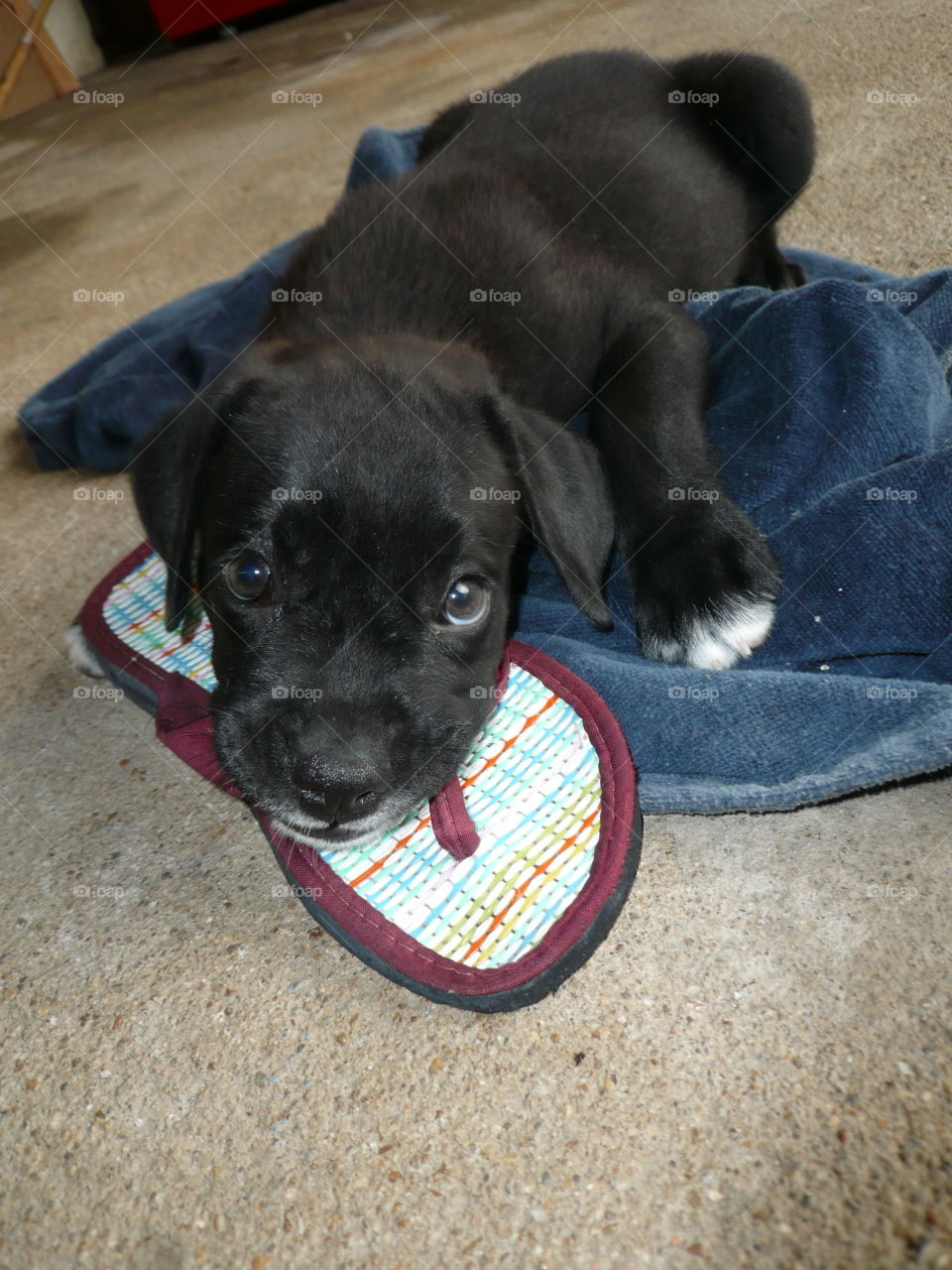 """puppy chewing on his favorite """"toy"""": the flip flop"""