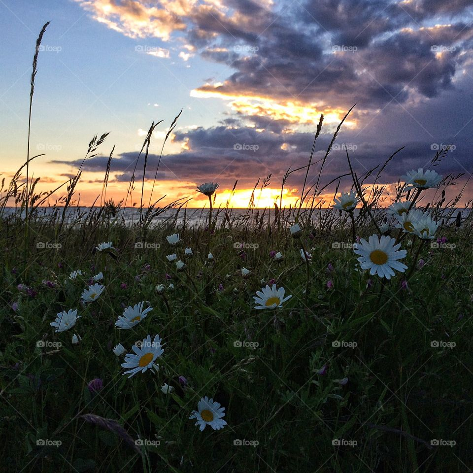 Daisy flowers during sunset