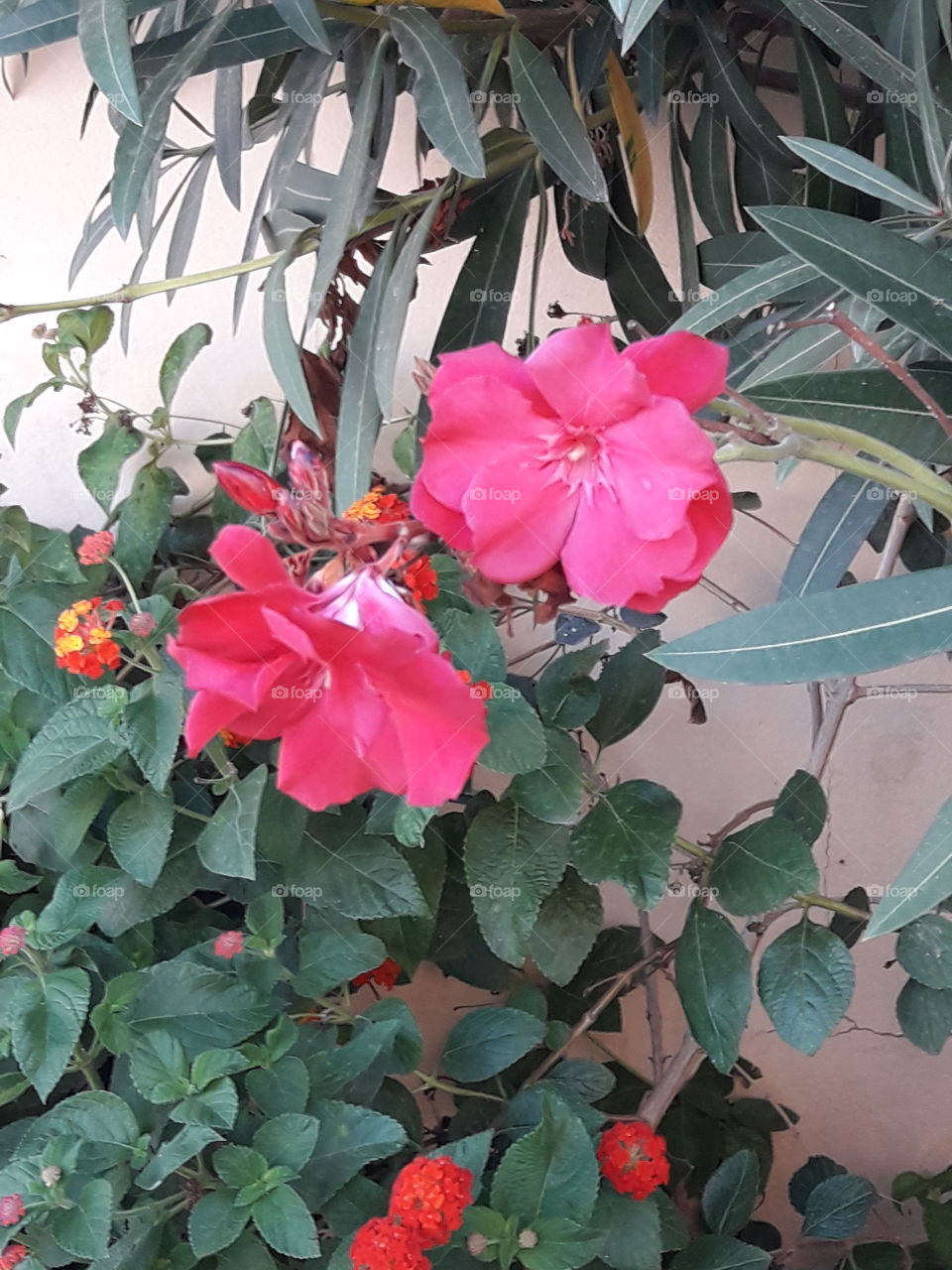 a two beautiful pink flower and green leaf