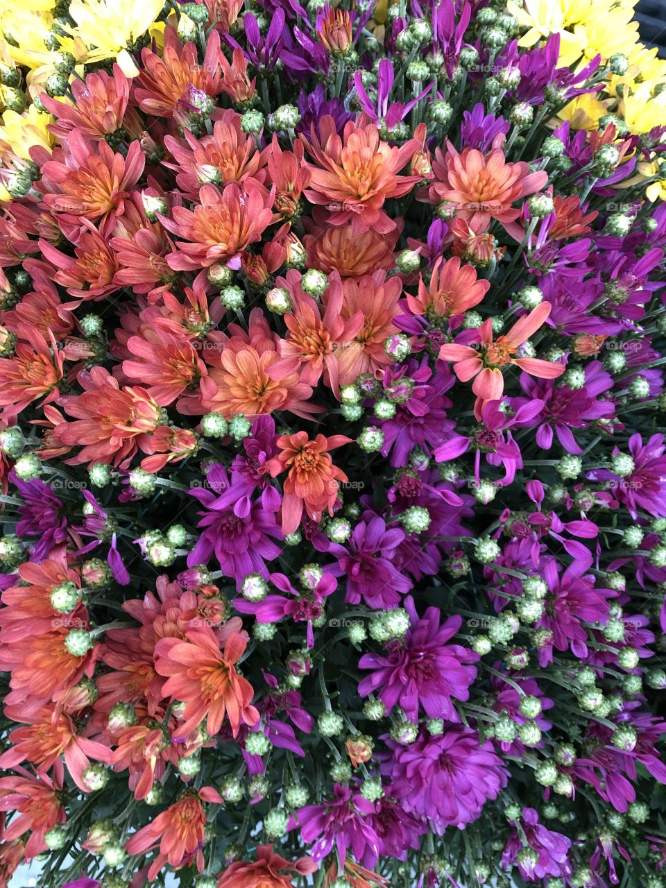 Clash Of Colours Vibrant Mums Flowers Close Up