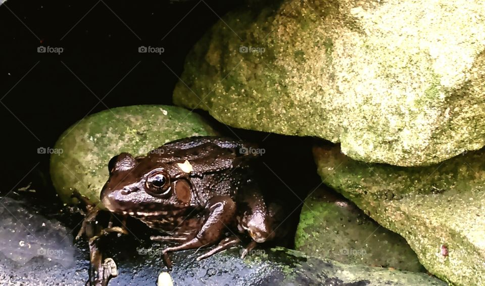 Pondering Frog