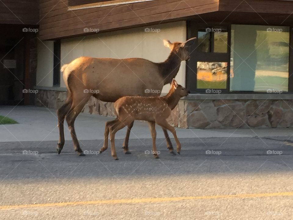 Elk and her youngster walking in front of local elementary school